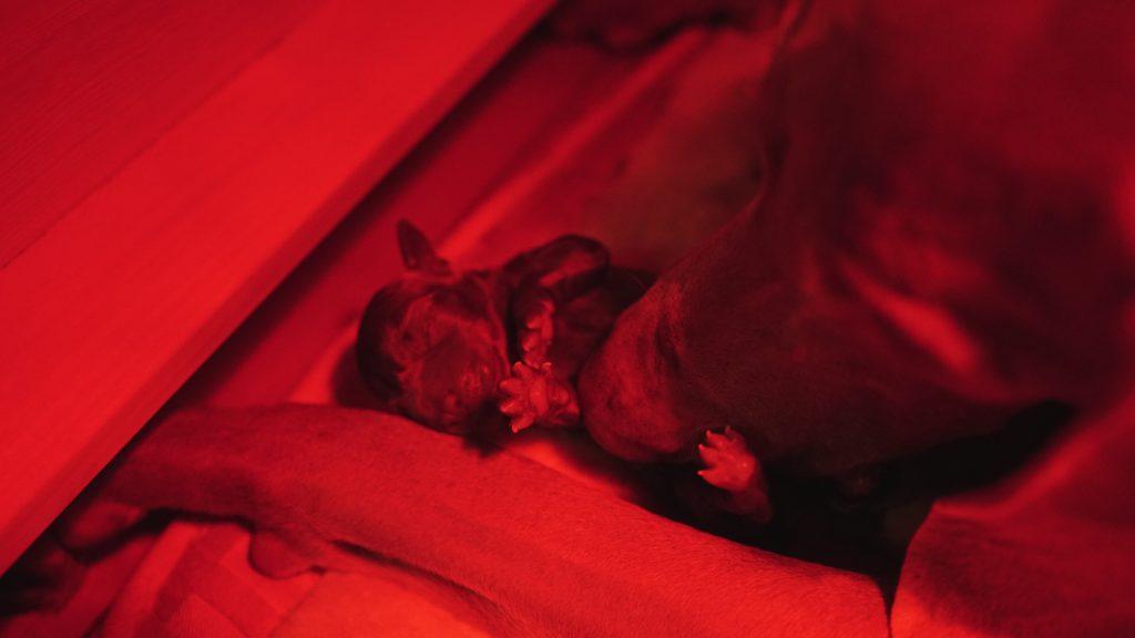 In der Nacht vom 10. auf den 11. Oktober kamen Skye's Weimaraner Welpen zur Welt. Sie hat uns sechs gesunde Würmchen geschenkt.